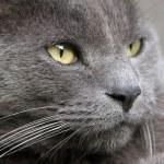 Gray Cat Portrait — Stock Photo #8295859