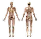 Semi-Transparent Female Anatomy — Stock Photo