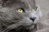 Gray Cat Portrait — Stock Photo