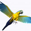 Gold and Blue Macaw 2 — Stock Photo