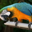 Curious Macaw — Stock Photo
