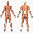 Stock Photo: Male Muscles