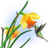 Hummingbird żonkile — Zdjęcie stockowe