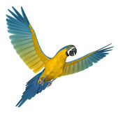 Blue and Gold Macaw Flying 2 — Stock Photo