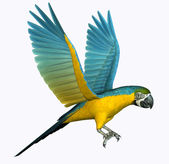 Gold and Blue Macaw — Stock Photo