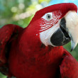 Scarlet Macaw — Stock Photo #8311503