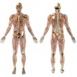 Male skeleton with Semi-transparent Muscles - Stock Photo