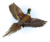 Ring-necked Pheasant Flying — Stock Photo