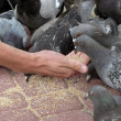 Feeding pigeons — Stock Photo