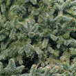 Stock Photo: Spruce trees in large