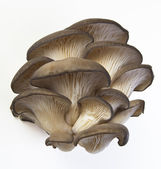 Oyster mushrooms on a white background. — Stock Photo