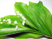 Lilies of the valley — Stock Photo