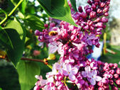 Variety of lilac — Stock Photo