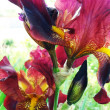 Variety of flowerets  -  iris - Stock Photo