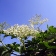 Stock Photo: Inflorescence of black elder