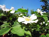 ワイルド ローズの小さな白い flowerets — ストック写真