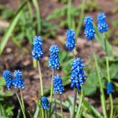Muskari fiori — Foto Stock