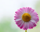Marguerite — Stockfoto