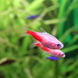Gold neon tetra aquarium fish - 图库照片