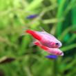 Gold neon tetra aquarium fish — Stock Photo