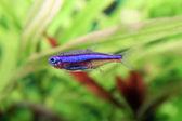 Blauer tetra neon — Stockfoto