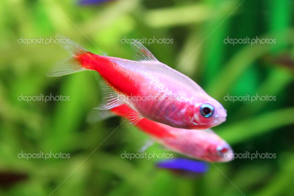 Freshwater fishs - Gold Neon Tetra in aquarium  Stock Photo #8159945