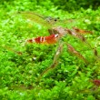 Crystal red shrimp — Stock Photo