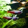 Gold neon freshwater fish - Stok fotoraf