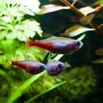 Gold Neon Süßwasserfisch — Stockfoto