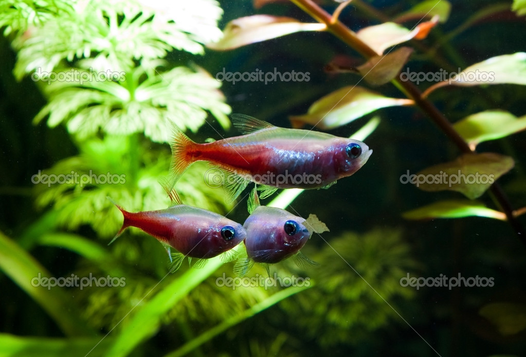 Group of gold neon tetra aquarium fish — Stock Photo #8160994