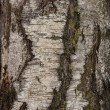 Royalty-Free Stock Photo: Birch texture