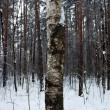 Birch trunk in the winter forest — Stock Photo