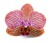 Elegant orchidea — Stock Photo