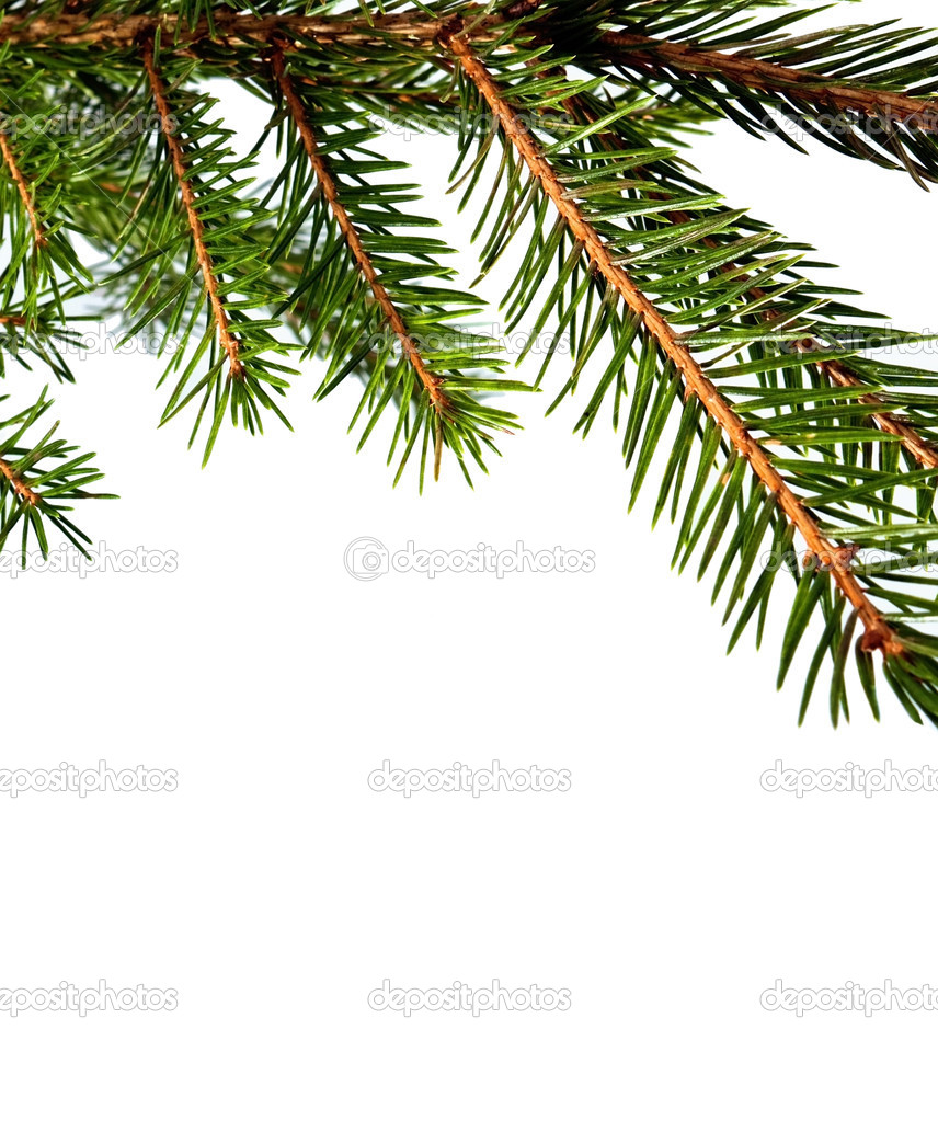 Branch of fur-tree isolated for background — 图库照片 #8331622