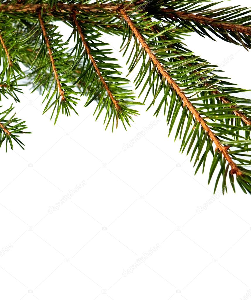 Branch of fur-tree isolated for background — Stockfoto #8331622