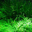 Aquarium plants — Stock Photo
