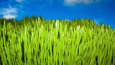 Grass over blue sky — Stok fotoğraf