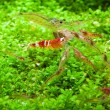 Crystal red shrimp — Stock Photo #8527316