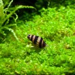 Stock Photo: Helena snail in aquarium