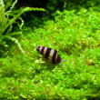Helena snail in aquarium — Stock Photo