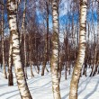 Stock Photo: Birch forest