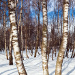 Royalty-Free Stock Photo: Birch forest