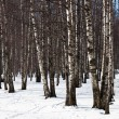Stock Photo: Birch in snow