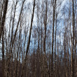 Birches — Stockfoto #8542321