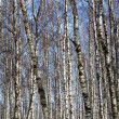 Birch in winter season — Stockfoto
