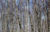 Birke im wintersaison — Stockfoto