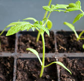 Tomato sprout — Stock Photo