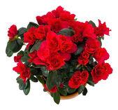 Beautiful azalian flower — Stock Photo