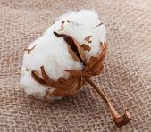 Boule de coton sur sac — Photo