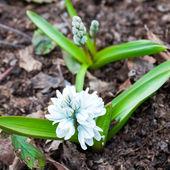 Spring flower — Stock Photo